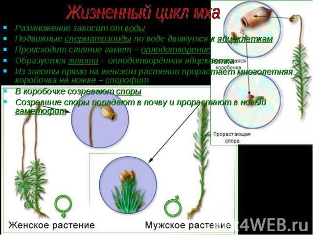 Размножение зависит от воды Размножение зависит от воды Подвижные сперматозоиды по воде движутся к яйцеклеткам Происходит слияние гамет – оплодотворение Образуется зигота – оплодотворённая яйцеклетка Из зиготы прямо на женском растении прорастает мн…