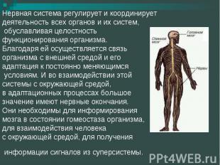 Нервная система регулирует и координирует деятельность всех органов и их систем,