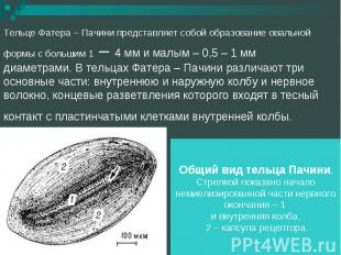 Тельце Фатера – Пачини представляет собой образование овальной формы с большим 1