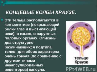 КОНЦЕВЫЕ КОЛБЫ КРАУЗЕ. Эти тельца располагаются в конъюнктиве (покрывающей белки