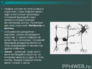 Нейрон состоит из тела (сомы) и отростков. Сома нейрона имеет ядро и клеточные о