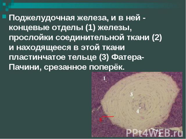 Поджелудочная железа, и в ней - концевые отделы (1) железы, прослойки соединительной ткани (2) и находящееся в этой ткани пластинчатое тельце (3) Фатера-Пачини, срезанное поперёк. Поджелудочная железа, и в ней - концевые отделы (1) железы, прослойки…
