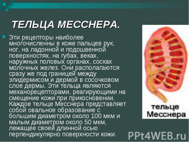 ТЕЛЬЦА МЕССНЕРА. Эти рецепторы наиболее многочисленны в коже пальцев рук, ног, на ладонной и подошвенной поверхностях, на губах, веках, наружных половых органах, сосках молочных желез. Они располагаются сразу же под границей между эпидермисом и дерм…