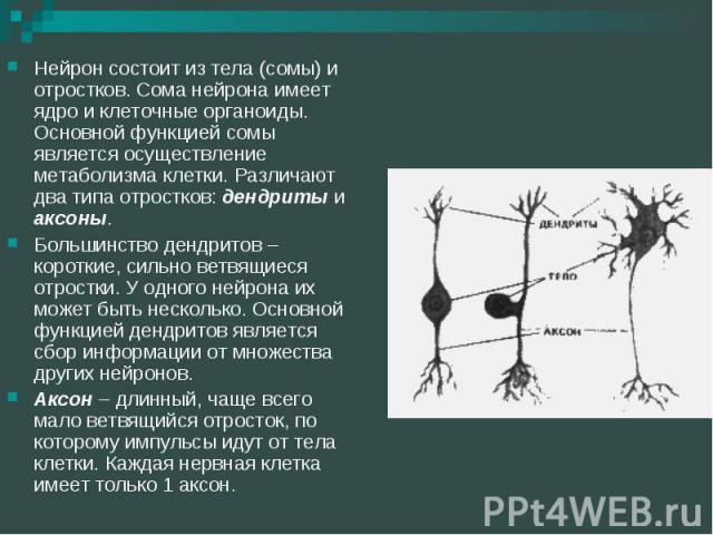 Нейрон состоит из тела (сомы) и отростков. Сома нейрона имеет ядро и клеточные органоиды. Основной функцией сомы является осуществление метаболизма клетки. Различают два типа отростков: дендриты и аксоны. Нейрон состоит из тела (сомы) и отростков. С…
