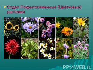 Отдел Покрытосеменные (Цветковые) растения Отдел Покрытосеменные (Цветковые) рас