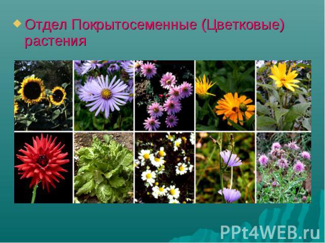 Отдел Покрытосеменные (Цветковые) растения Отдел Покрытосеменные (Цветковые) растения