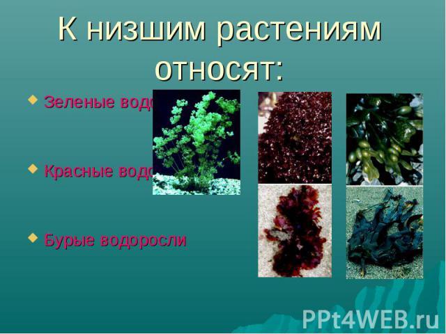 Зеленые водоросли Зеленые водоросли Красные водоросли Бурые водоросли