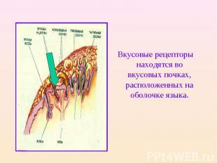 Вкусовые рецепторы находятся во вкусовых почках, расположенных на оболочке языка