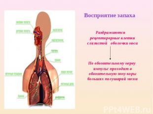 Восприятие запаха Раздражаются рецепторорные клетки слизистой оболочки носа По о