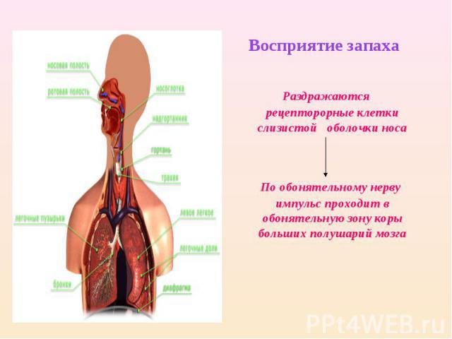 Восприятие запаха Раздражаются рецепторорные клетки слизистой оболочки носа По обонятельному нерву импульс проходит в обонятельную зону коры больших полушарий мозга