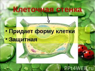Клеточная стенка Придает форму клетки Защитная