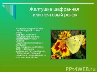 Желтушка шафранная или Почтовый рожок = Colias crocea Отряд: Lepidoptera = Чешуе