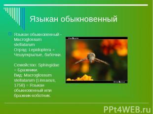 Языкан обыкновенный - Macroglossum stellatarum Отряд: Lepidoptera = Чешуекрылые,