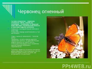 Lycaena virgaureae – червонец огненный, самец, семейство голубянки – Lycaenidae
