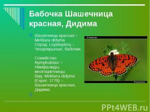 Шашечница красная = Melitaea didyma Отряд: Lepidoptera = Чешуекрылые, бабочки. С