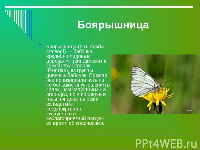 Боярышница (лат. Aporia crataegi) — бабочка, вредная плодовым деревьям, принадлежит к семейству белянок (Pieridae), из группы дневных бабочек. Прежде она производила чуть ли не большие опустошения в садах, чем капустница на огородах, но в последние …