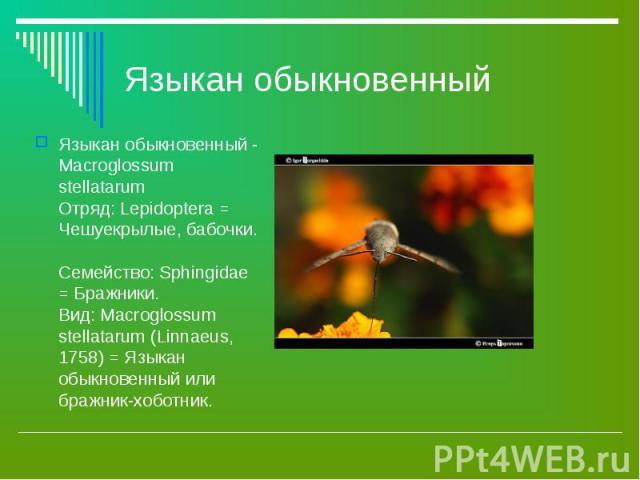 Языкан обыкновенный - Macroglossum stellatarum Отряд: Lepidoptera = Чешуекрылые, бабочки. Семейство: Sphingidae = Бражники. Вид: Macroglossum stellatarum (Linnaeus, 1758) = Языкан обыкновенный или бражник-хоботник. Языкан обыкновенный - Macroglossum…