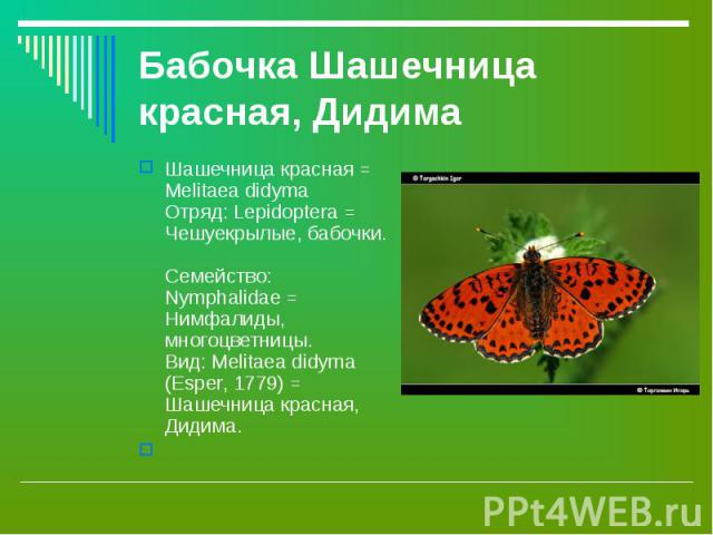 Шашечница красная = Melitaea didyma Отряд: Lepidoptera = Чешуекрылые, бабочки. Семейство: Nymphalidae = Нимфалиды, многоцветницы. Вид: Melitaea didyma (Esper, 1779) = Шашечница красная, Дидима. Шашечница красная = Melitaea didyma Отряд: Lepidoptera …