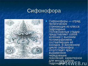Сифонофоры — отряд пелагических стрекающих из класса гидроидных. Половозрелые ст