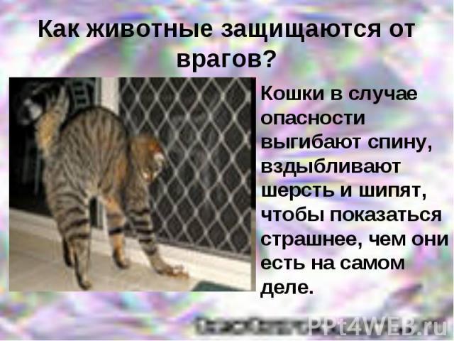 Как животные защищаются от врагов? Кошки в случае опасности выгибают спину, вздыбливают шерсть и шипят, чтобы показаться страшнее, чем они есть на самом деле.