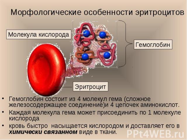 Гемоглобин состоит из 4 молекул гема (сложное железосодержащее соединение)и 4 цепочек аминокислот. Гемоглобин состоит из 4 молекул гема (сложное железосодержащее соединение)и 4 цепочек аминокислот. Каждая молекула гема может присоединить по 1 молеку…