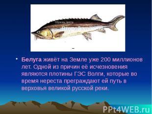 Белуга живёт на Земле уже 200 миллионов лет. Одной из причин её исчезновения явл