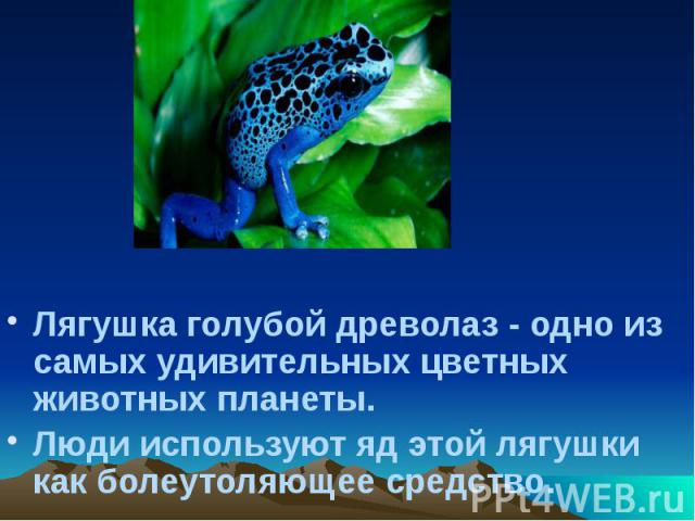 Лягушка голубой древолаз - одно из самых удивительных цветных животных планеты. Лягушка голубой древолаз - одно из самых удивительных цветных животных планеты. Люди используют яд этой лягушки как болеутоляющее средство.