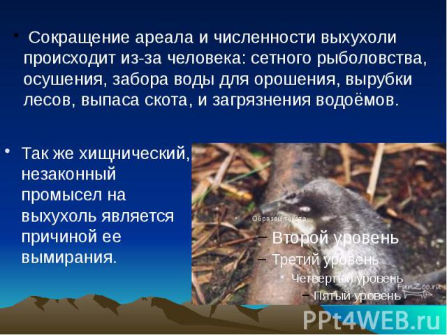 Так же хищнический, незаконный промысел на выхухоль является причиной ее вымирания. Так же хищнический, незаконный промысел на выхухоль является причиной ее вымирания.