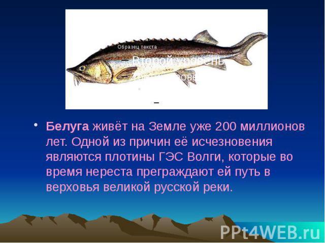 Белуга живёт на Земле уже 200 миллионов лет. Одной из причин её исчезновения являются плотины ГЭС Волги, которые во время нереста преграждают ей путь в верховья великой русской реки. Белуга живёт на Земле уже 200 миллионов лет. Одной из причин её ис…