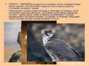 Сокол – балобан гнездится в островных лесах, занимая гнёзда ворон, цапель. Спосо