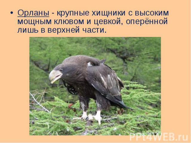 Орланы - крупные хищники с высоким мощным клювом и цевкой, оперённой лишь в верхней части. Орланы - крупные хищники с высоким мощным клювом и цевкой, оперённой лишь в верхней части.