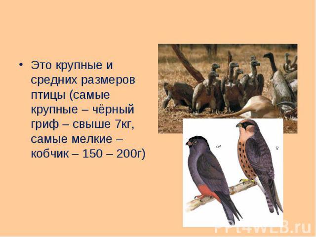 Это крупные и средних размеров птицы (самые крупные – чёрный гриф – свыше 7кг, самые мелкие – кобчик – 150 – 200г) Это крупные и средних размеров птицы (самые крупные – чёрный гриф – свыше 7кг, самые мелкие – кобчик – 150 – 200г)