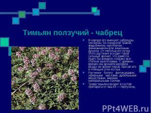Тимьян ползучий - чабрец В народе его именуют чабрецом, чепчиком, богородск