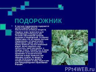 ПОДОРОЖНИК В листьях подорожника содержится целая кладовая ценных биологически а
