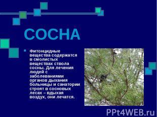 СОСНА Фитонцидные вещества содержатся в смолистых веществах ствола сосны. Для ле