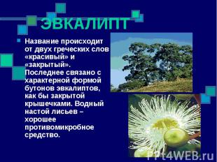 ЭВКАЛИПТ Название происходит от двух греческих слов «красивый» и «закрытый». Пос
