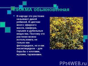 ПИЖМА обыкновенная В народе это растение называют дикой рябиной. В цветках много