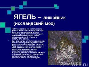 ЯГЕЛЬ – лишайник (иссландский мох) На Руси издавна его использовали для выпечки