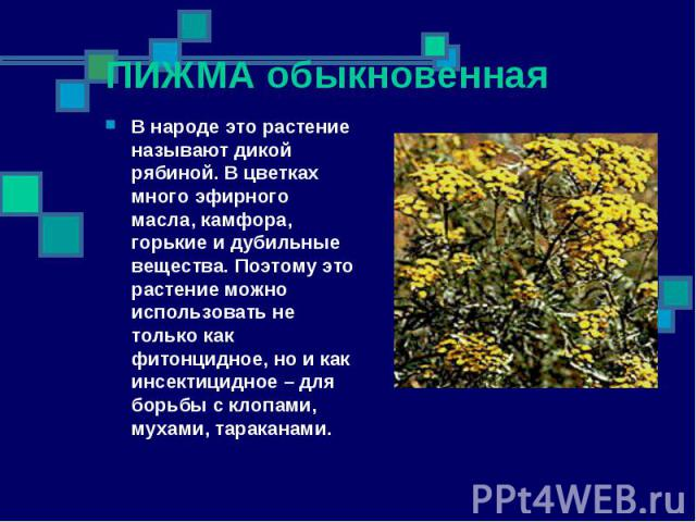 ПИЖМА обыкновенная В народе это растение называют дикой рябиной. В цветках много эфирного масла, камфора, горькие и дубильные вещества. Поэтому это растение можно использовать не только как фитонцидное, но и как инсектицидное – для борьбы с клопами,…