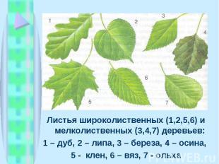 Листья широколиственных (1,2,5,6) и мелколиственных (3,4,7) деревьев: Листья шир