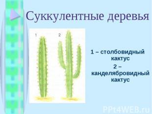 1 – столбовидный кактус 1 – столбовидный кактус 2 – канделябровидный кактус