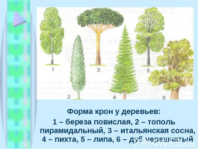 Форма крон у деревьев: Форма крон у деревьев: 1 – береза повислая, 2 – тополь пирамидальный, 3 – итальянская сосна, 4 – пихта, 5 – липа, 6 – дуб черешчатый