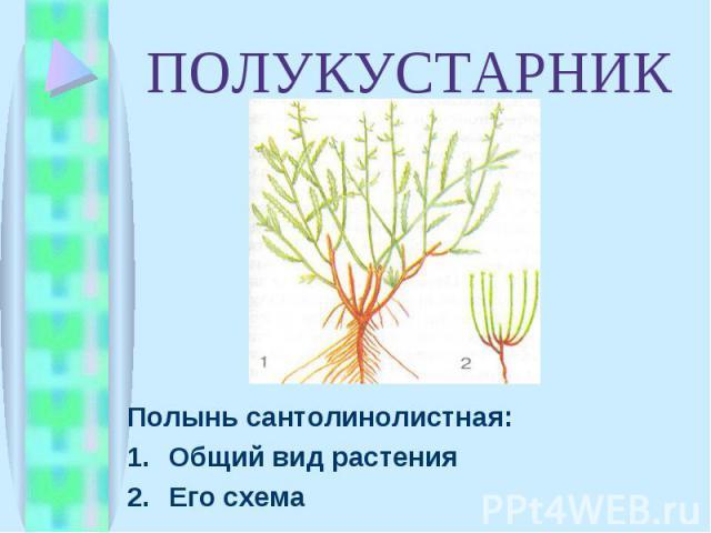 Полынь сантолинолистная: Полынь сантолинолистная: Общий вид растения Его схема