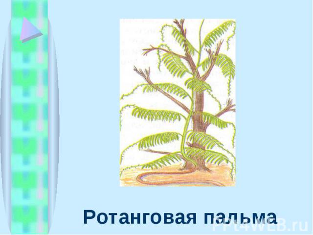 Ротанговая пальма Ротанговая пальма
