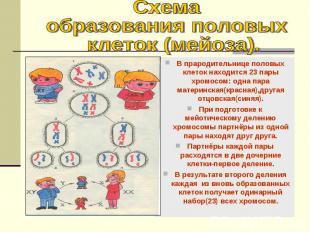 В прародительнице половых клеток находится 23 пары хромосом: одна пара материнск