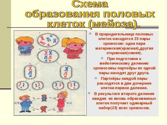 В прародительнице половых клеток находится 23 пары хромосом: одна пара материнская(красная),другая отцовская(синяя). При подготовке к мейотическому делению хромосомы партнёры из одной пары находят друг друга. Партнёры каждой пары расходятся в две до…