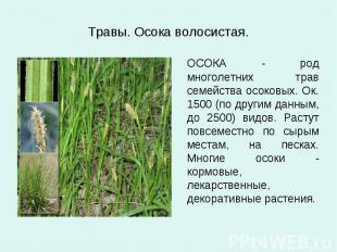 Травы. Осока волосистая. ОСОКА - род многолетних трав семейства осоковых. Ок. 15