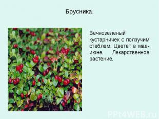 Брусника. Вечнозеленый кустарничек с ползучим стеблем. Цветет в мае-июне. Лекарс