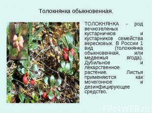 Толокнянка обыкновенная. ТОЛОКНЯНКА - род вечнозеленых кустарничков и кустарнико