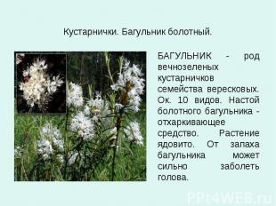 Кустарнички. Багульник болотный. БАГУЛЬНИК - род вечнозеленых кустарничков семей